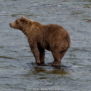 A brown bear in Hess Lake, Alaska, USA