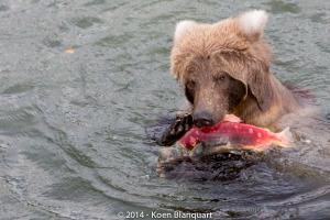 A brown bear in the Katmai National park eating a salmon.
