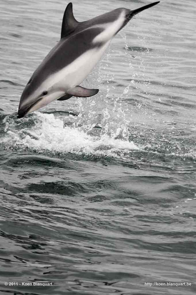 Dolphins - near the New Zealand shore