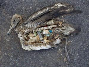This albatros died with his stomach filled with plastic. (image: Chris Jordan)