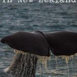 Sperm Whale Tail - Whale Watch New Zealand