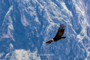 A condor flies over the Andes, Peru
