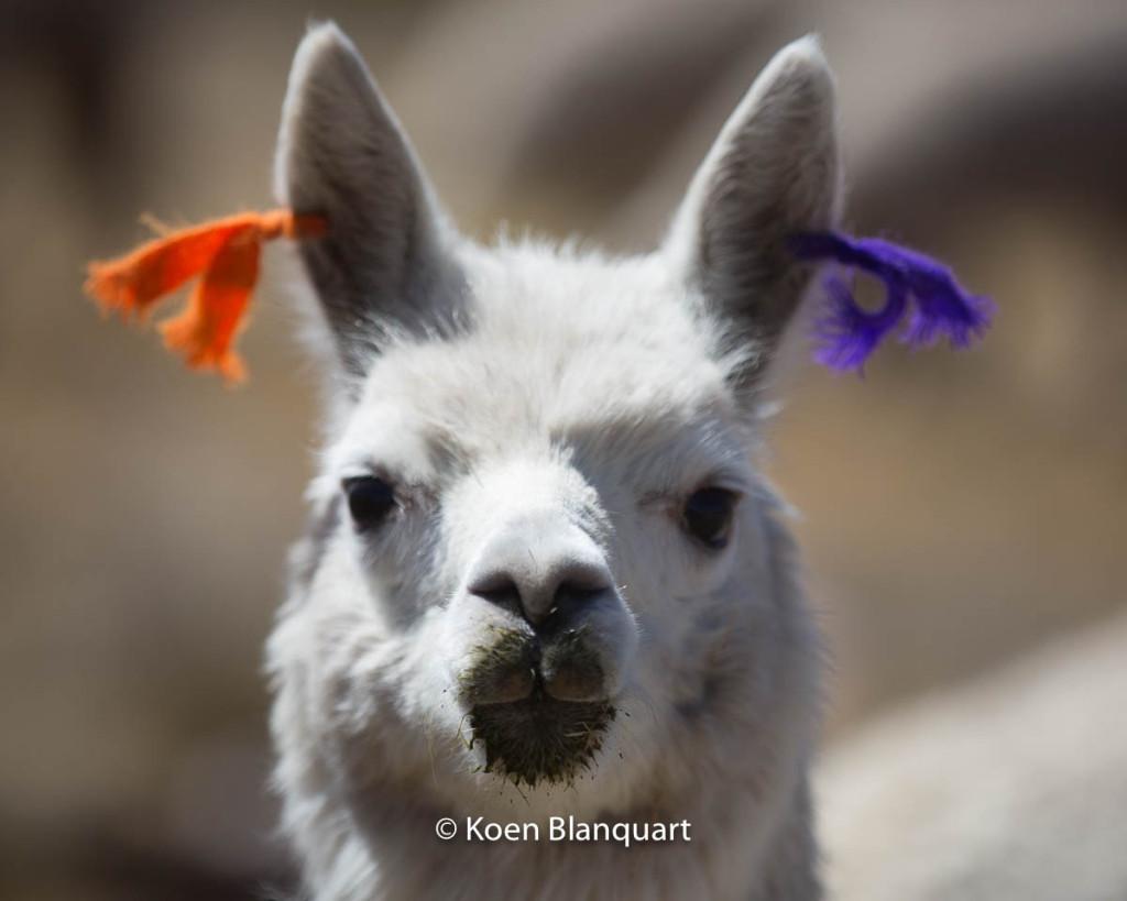 Alpaca (Peru)
