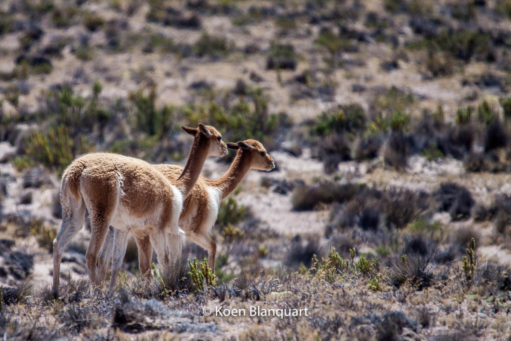 Vicunas in the Salinas y Aguada Blanca National Reserve near Arequipa